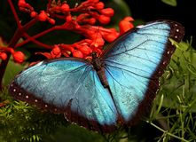 Morpho bleu Photo stock