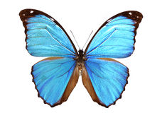 Morpho bleu photographie stock