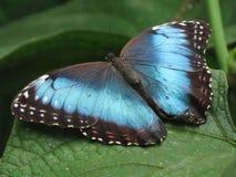 Morpho blu Immagini Stock