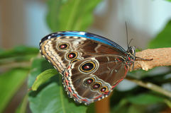 Morpho blue (morpho peleides) on tree Royalty Free Stock Image