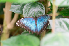 Morpho butterflies Stock Images