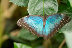 Morpho butterflies Royalty Free Stock Photo