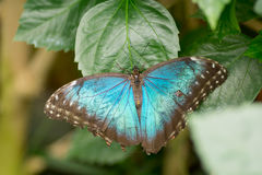 Morpho butterflies Royalty Free Stock Photography