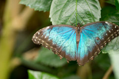 Morpho butterflies Stock Photos