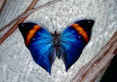 Morpho butterfly. Tropical Morpho butterfly shot in Butterfly world Florida Stock Photography
