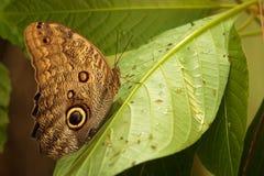 Morpho butterfly Stock Photography