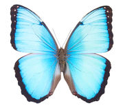 Morpho butterfly Stock Images