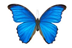 Morpho butterfly. Morpho didius. a blue butterfly from South America on white background Stock Photo