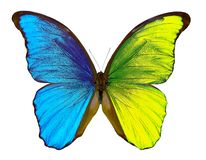 Morpho butterfly isolated on white. Bicolor butterfly wings. Yellow and blue wings. Morpho butterfly isolated on white. Bicolor butterfly wings stock photo