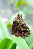 Morpho Butterfly On Leaf Royalty Free Stock Photos