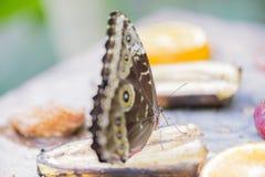 Morpho butterfly, morpho peleides Stock Photo