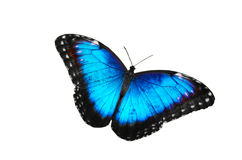 Morpho butterfly  in white, Costa Rica Stock Photo