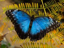 Morpho butterfly. Typical beautiful blue morpho butterfly Royalty Free Stock Photography