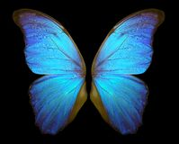 Morpho butterfly wings isolated on a black background. royalty free stock photo
