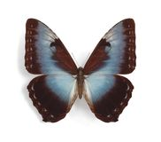 Morpho cisseis Royalty Free Stock Photo