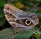 Morpho de achilles da borboleta Foto de Stock Royalty Free