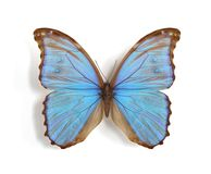 Butterfliy Morpho didius Stock Photos