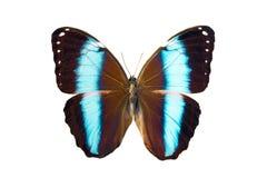 morpho för achilles amazonicusfjäril Arkivbilder