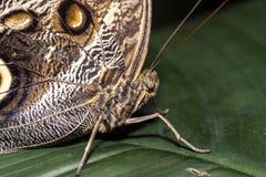 Morpho fjäril Arkivbilder