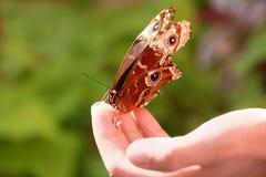 Morpho fjäril arkivfoton