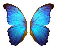 Morpho fjärilsvingar som isoleras på en vit bakgrund royaltyfri foto