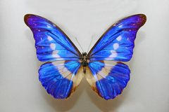 Morpho Helena Butterfly. Close up Stock Images