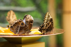 Morpho Helenor tropical butterfly in garden. Summer royalty free stock images