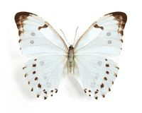 Morpho luna. On the white background Stock Photography