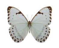 Morpho Luna de la colección de Batterfly Imagen de archivo libre de regalías