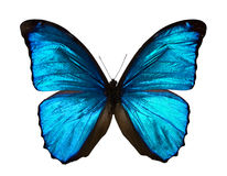 Morpho menelaus Stock Photo