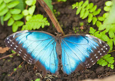 Morpho menelaus Royalty Free Stock Photos
