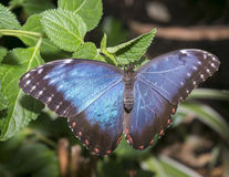 Morpho Royalty Free Stock Images