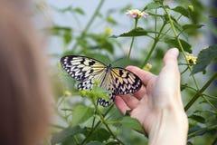 Morpho motyl na ręce Fotografia Royalty Free