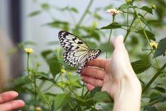 Morpho motyl na ręce Zdjęcia Royalty Free