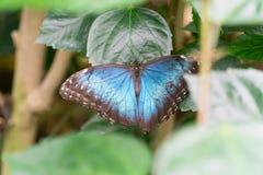 Morpho motyle Obrazy Stock
