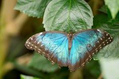 Morpho motyle Zdjęcie Royalty Free