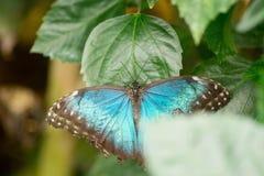 Morpho motyle Obraz Royalty Free