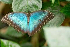 Morpho motyle Obrazy Royalty Free