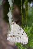 morpho motyli biel Zdjęcia Royalty Free