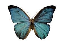 morpho niebieski motyla Zdjęcie Royalty Free
