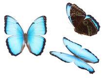 morpho niebieski motyla Obraz Stock