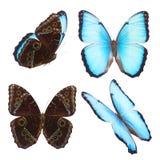 morpho niebieski motyla Fotografia Royalty Free