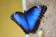 morpho niebieski motyla Zdjęcia Stock