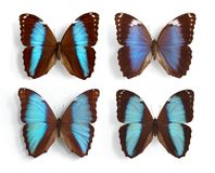 Morpho (panel) Stock Images