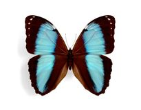 Morpho patroclus. On the white background Royalty Free Stock Images