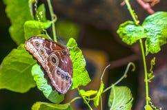 Morpho peleides Blue Morpho on green foliage