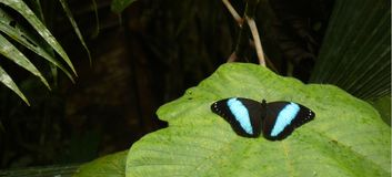 Morpho peleides or Blue morpho, a very large black with blue butterfly found in the Amazon stock images