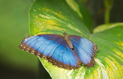 Morpho peleides butterfly Stock Images