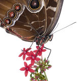 Morpho peleides butterfly Royalty Free Stock Photos