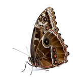 Morpho peleides butterfly Royalty Free Stock Photo